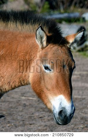 Przewalski's or Dzungarian horse, is a rare and endangered subspecies of wild horse. Also know as Asian wild horse and Mongolian wild horse. Head close up image.