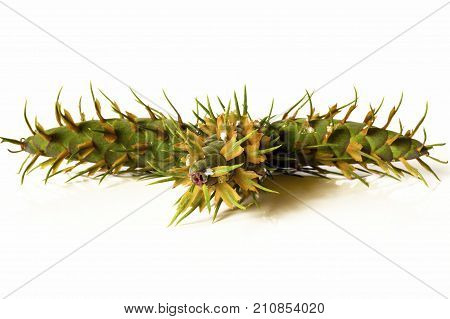 Christmas Decoration - Young Green Cones Of Douglas Fir Tree Isolated On White Background