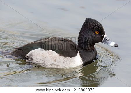 Side View Of Male Ring-billed Ringneck Duck (aythya Collaris) Swimming