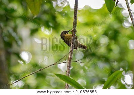 Grey-throated Babbler bird hang on the tree branch at Kinabalu national park, Malaysia, Asia (Stachyris nigriceps)
