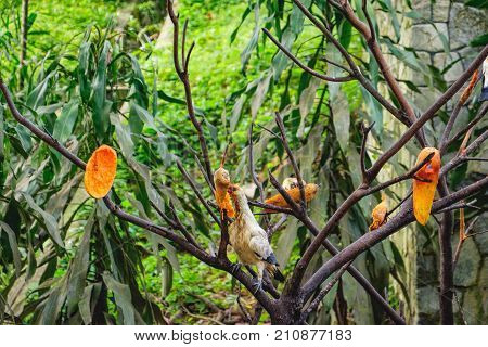 Pied Imperial Pigeons eating papaya in Kuala Lumpur Bird Park, Kuala Lumpur, Malaysia. They live in forest woodland savanna mangrove and scrub and feeding almost exclusively on fruit.