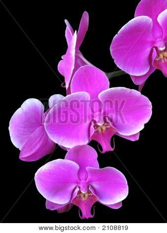 Branch Of Purple Orchids Over Black