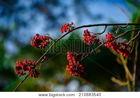 Autumn rowan tree with blue sky and forest at background