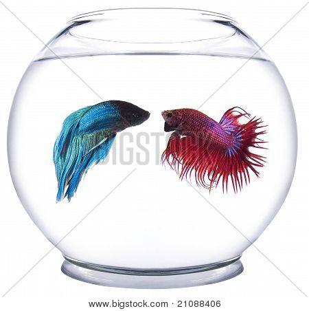 Rojo versus pescado azul Beta