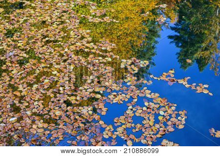 Tranquil mountain lake water surface full of fallen autumn leaves and forest reflection