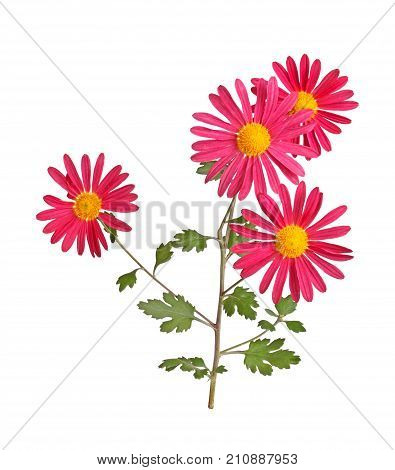 Stem with several red and yellow flowers of the hardy chrysanthemum (Chrysanthemum rubellum) isolated against a white background