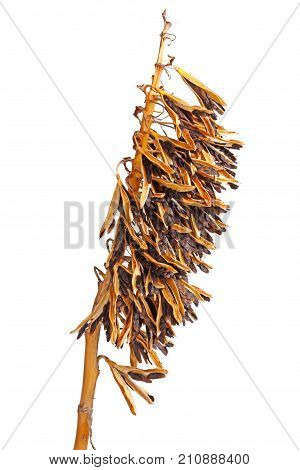 Closeup of brown dried seed pods of a cultivated hosta plant in fall isolated against a white background