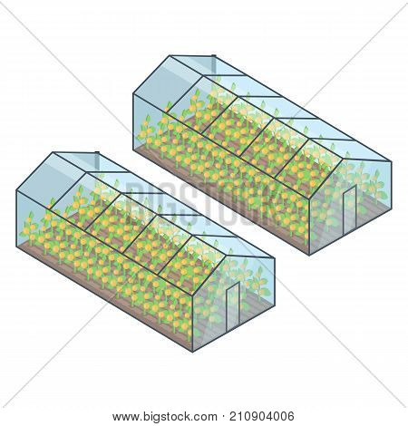 Two greenhouses with yellow growing plants inside isometric vector illustration. Buildings of special transparent material for vegetables or fruit