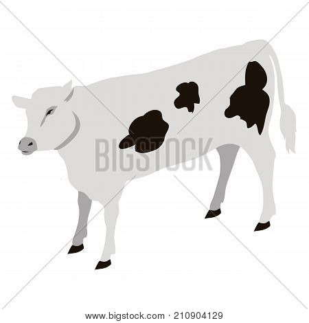 Calf young of domestic cattle vector illustration. Calves are reared to become adult cow or slaughtered for their meat, called veal, and for their calfskin.