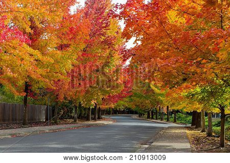 Fall foliage on tree lined street in North American suburban neighborhood in autumn