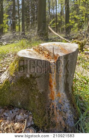 sunny illuminated forest scenery with slime flux at a tree trunk in spring time
