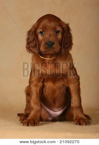 Puppy Setter