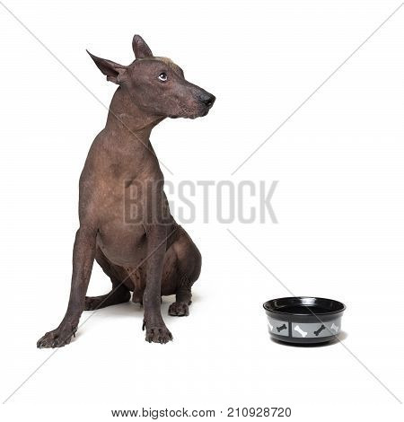 xoloitzcuintli Mexican Hairless Dog waiting and looks up to have his bowl filled food on white background. hungry Dog with a bowl.