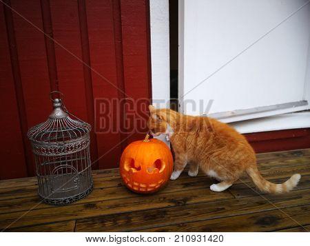 Halloween house pumpkin dekoration with a cat