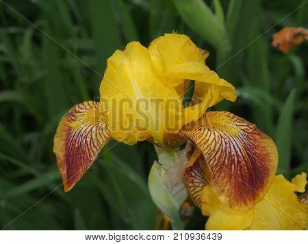 Bud iris yellow. Full-blown flower. The yellow petals. Close-up.