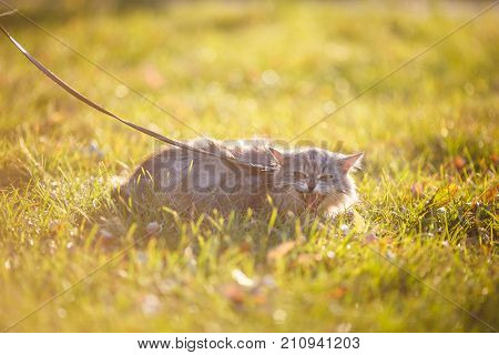 Fluffy Adult Gray Cat In Green Grass Hissing And Showing Displeasure