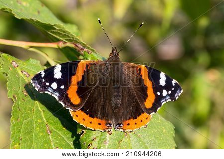 Close up of red admiral butterfly vanessa atalanta. Selective focus. Shallow depth of field.