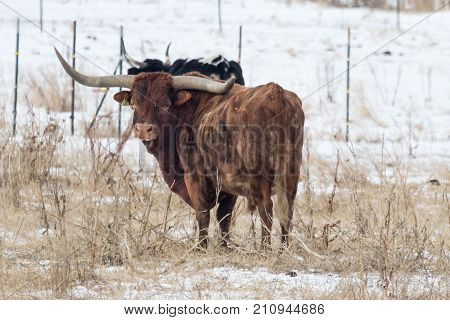huge longhorn steer in a pasture with snow on the ground in winter on a ranch.