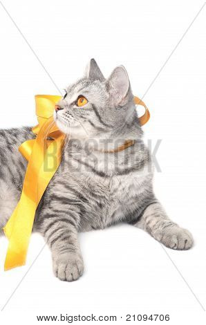 Looking young funny grey cat with yellow bow, isolated on white poster