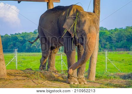 Beautiful elephant chained in a wooden pillar under a tructure at outdoors, in Chitwan National Park, Nepal, cruelty concept.