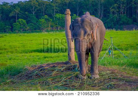 Chained elephant in a wooden pillar at outdoors, in Chitwan National Park, Nepal, cruelty concept.