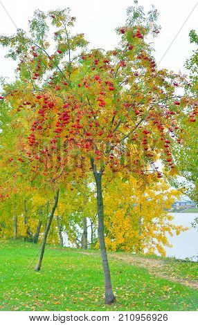 Rowanberry tree with red berries at autumn park.