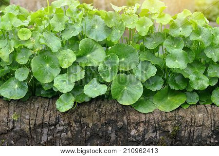 Gotu Kola Asiatic Pennywort Centella asiatica green Leaves with water drop in the garden