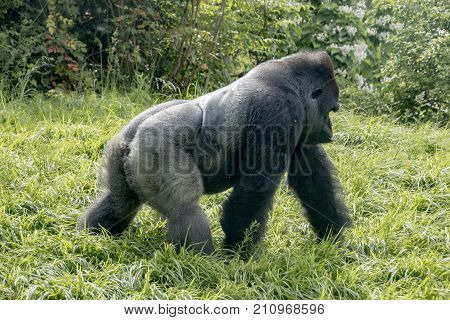A western lowland gorilla in captivity going for a walk