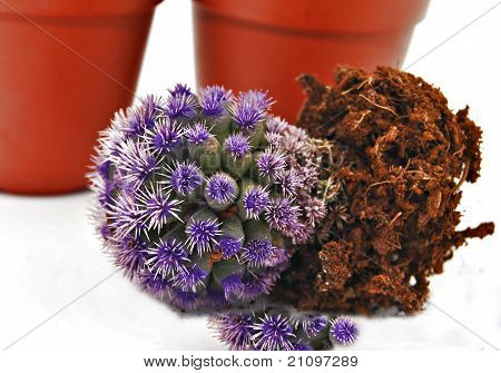 Cactus turned purple