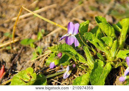Beautiful Purple Viola In Garden On Spring