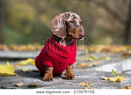 Dachshund dogs dressed in a knitted sweater