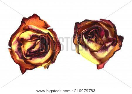 Set of faded red and yellow rose bud on white background isolated. No leaves. Close up. poster