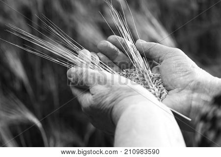 Poor harvest. Wheat grains with ear in old woman hand in the wheat field black and white photo