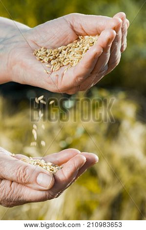 Vertical view of falling hands from hands. Harvest time and golden hour. Wheat grains falling from old woman hand in the wheat field blur focus