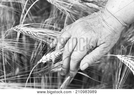 The old farmer hand is touching the ear in the wheat field.Black and white. Concept of bad harvest.
