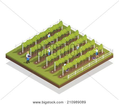 Viticulture isometric composition farmers engaged in harvesting on grape plantation isometric vector illustration