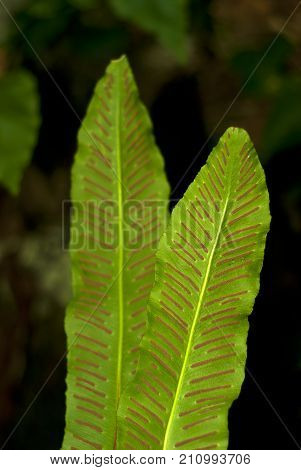 two sheets of fern Asplenium scolopendrium known as hart's-tongue fern closeup on a blurred background