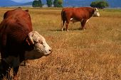 Bulls on pasture in late summer in Idaho poster