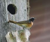 Bird against a starling house. European robin poster