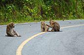 family of Monkey at Khao Yai National Park Thailand poster