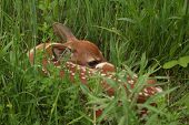 White-tailed Deer Fawn (Odocoileus virginianus) Hiding in a Meadow poster