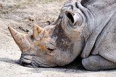 relaxing rhinoceros in a zoo in Bratislava Slovakia poster