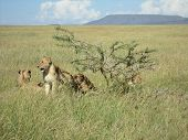 Lion's pride in the national park Serengeti,  Tanzania poster