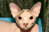 A cute pink Sphynx cat portrait close up. Nude skin bald cat cat breed Canadian hairless kitten. Fashion nude cat with pedigree. poster