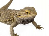 Pagona Reptile or Bearded Dragon isolated on white background poster