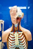 Human internal organs dummy, training dummy, detail of the face, thorax and intestines. Healthcare concept. Human anatomy poster