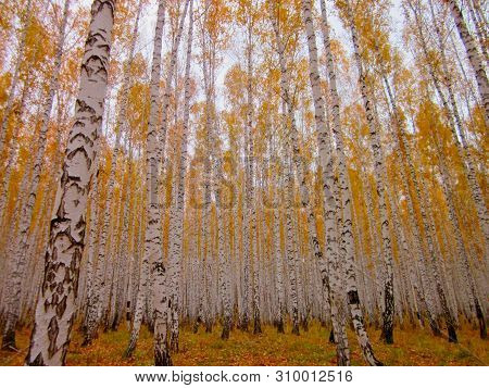 White Birches Autumn Dence Forest. Birch Trees With Orange Leaves & Fall Woods Foliage. Beautiful Bi