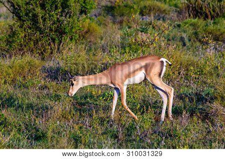 Lonely Springbok Grazing In The Savannah Of Samburu Park In Central Kenya