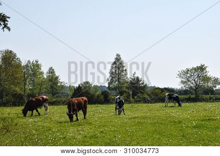 Herd With Grazing Cattle In A Green Grassland At The Swedish Island Oland
