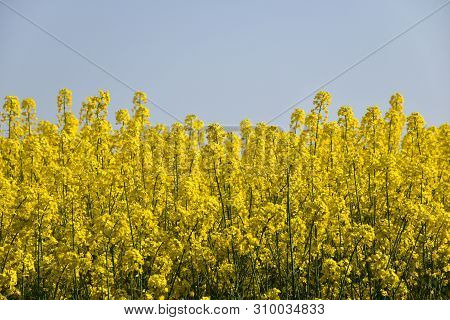 Close Up Of A Blossom Rape Field With A Cloudless Blue Sky